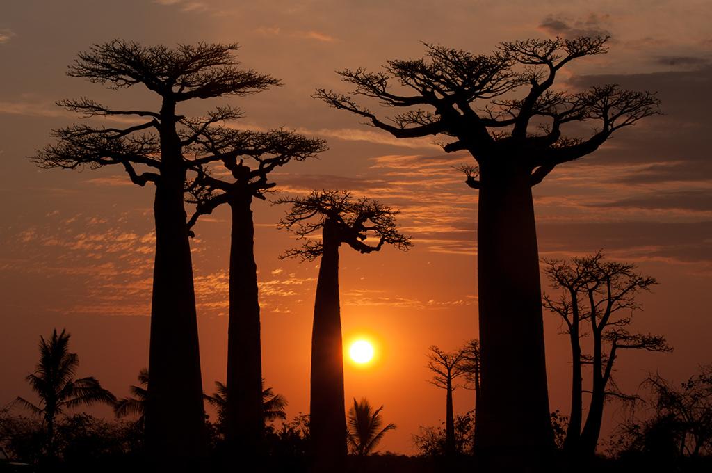 Coucher de soleil dans l'allée des baobabs à Morondava