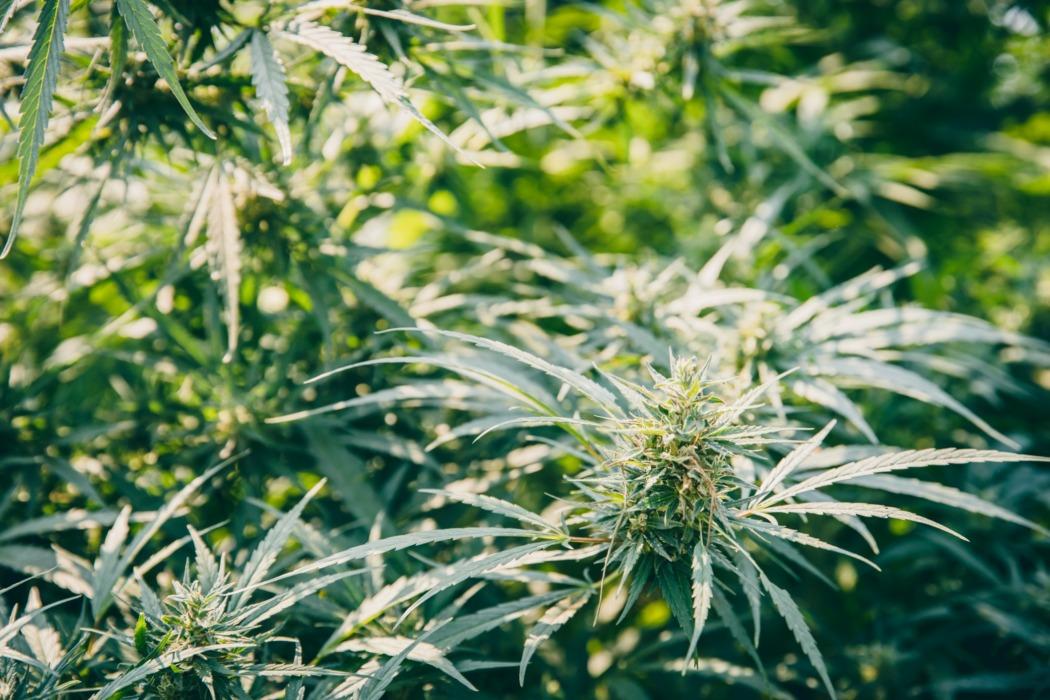 cannabis à autofloraison