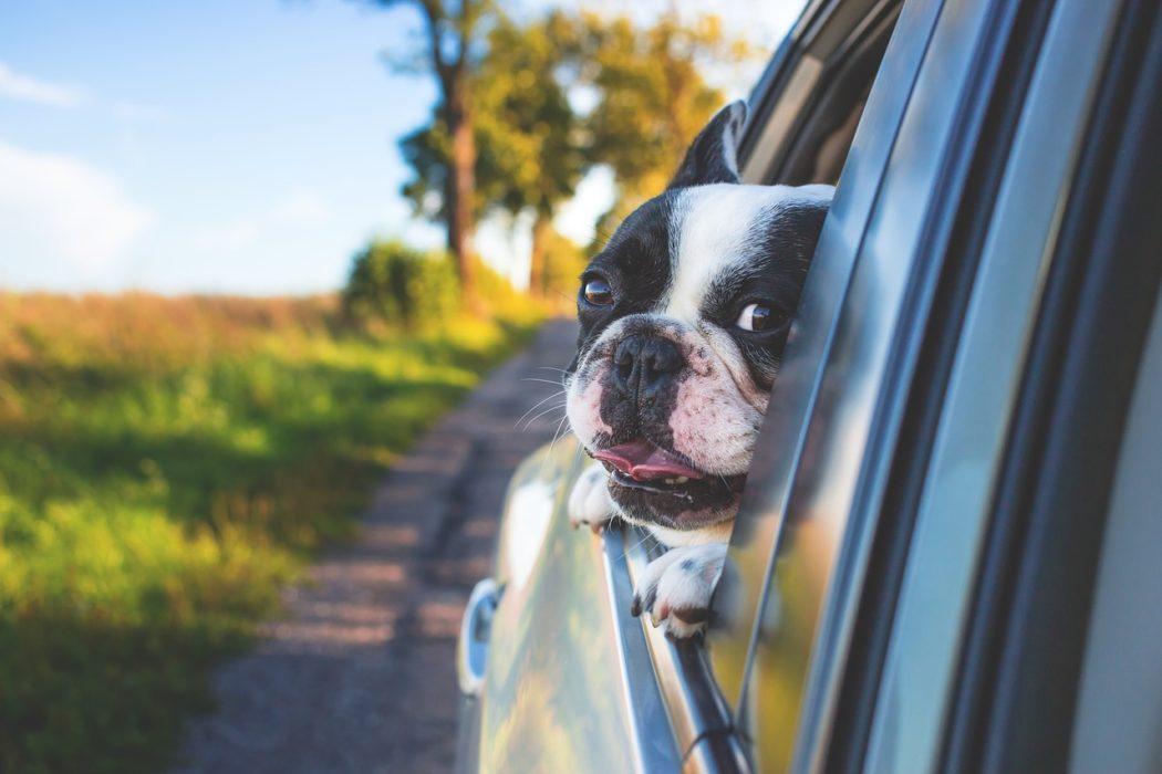 chien qui a trop chaud dans la voiture