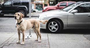 chien devant sa voiture