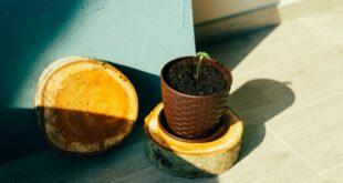 cultiver graine cannabis