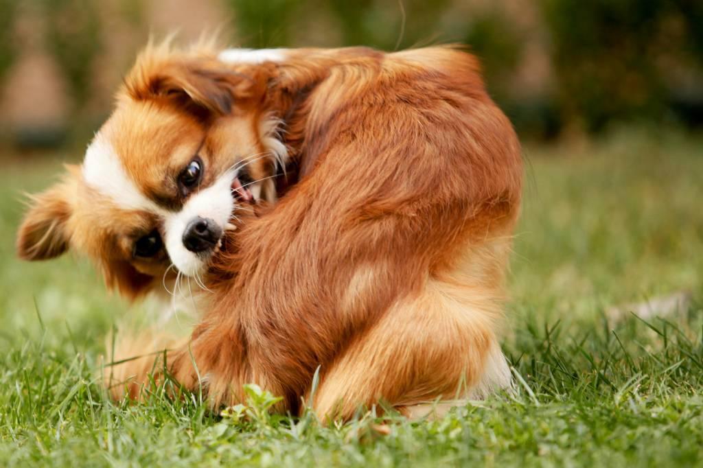chien puces anti-puces