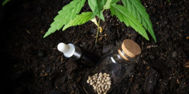 graine cannabis à autofloraison