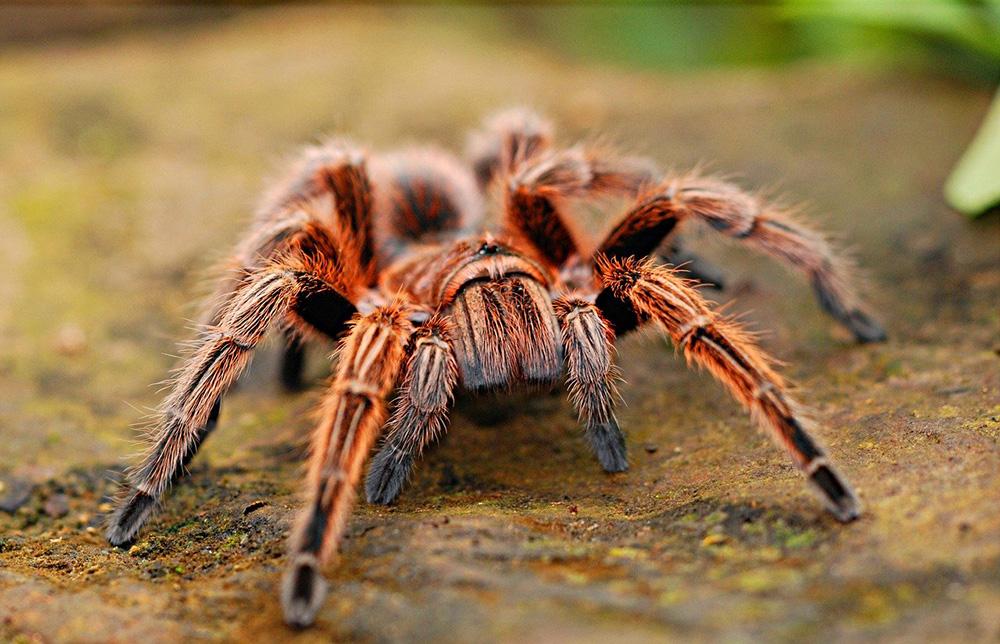 nac araignée