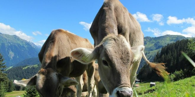 nourrir les bovins